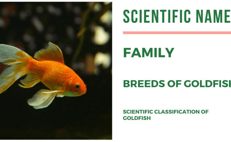 गोल्डफिश का साइंटिफिक नाम क्या है | Scientific Name of GoldFish in Hindi