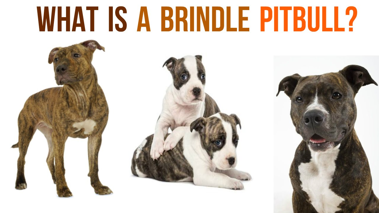 6 Things You Should Know About the Brindle Pitbull